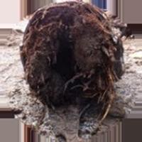 riool verstopt door boomwortels